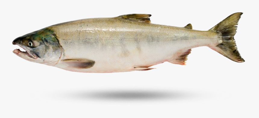 Keta Salmon - Sockeye Salmon, HD Png Download, Free Download