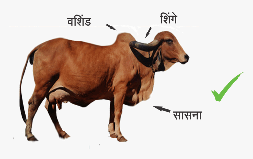 Indian Breed Cows - Difference Between Indian Cow And Foreign Cow, HD Png Download, Free Download
