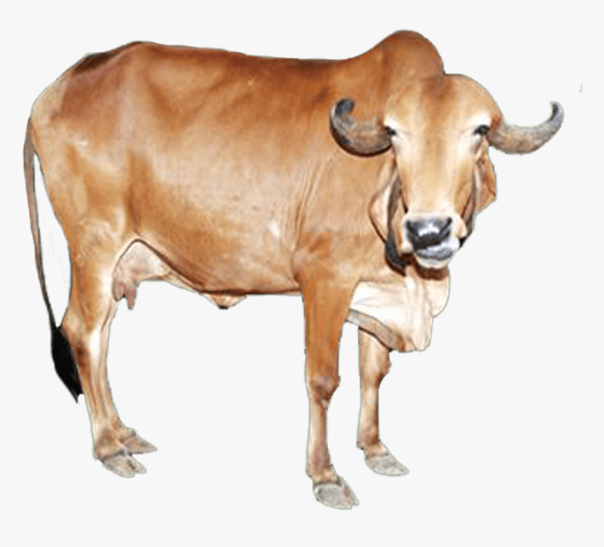 Gir Cow Images Hd , Free Transparent Clipart - ClipartKey