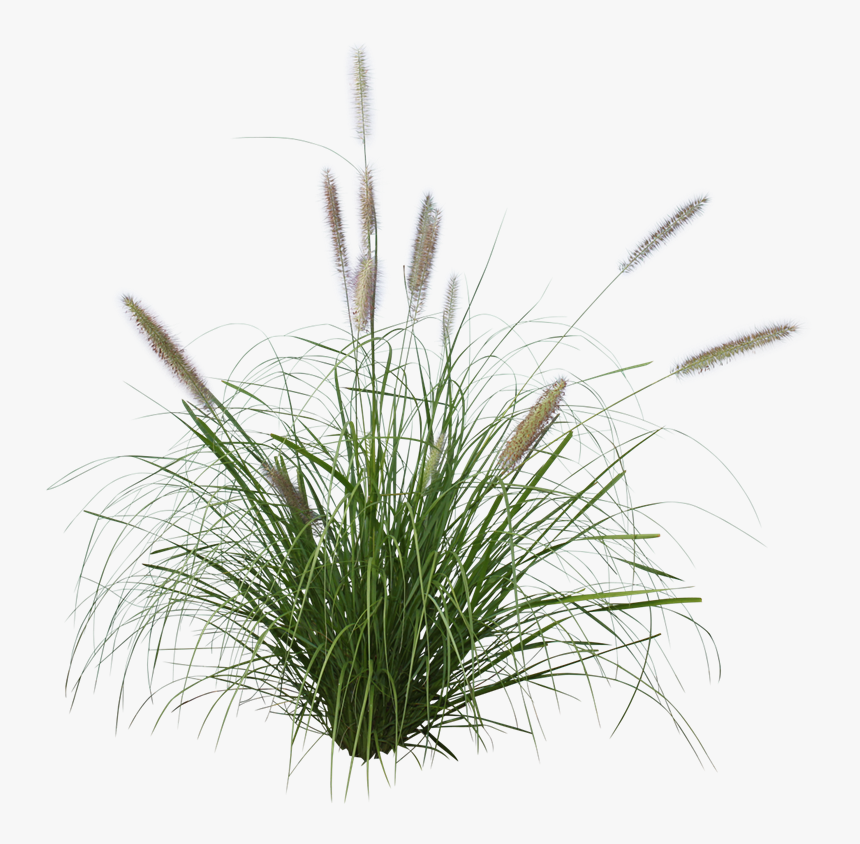 Pennisetum Grass Png , Png Download - Pennisetum Alopecuroides Png, Transparent Png, Free Download