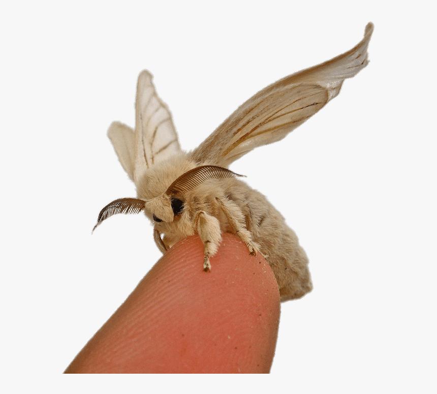 Silkworm Moth On Fingertip - Bombyx Mori Silk Moth, HD Png Download, Free Download