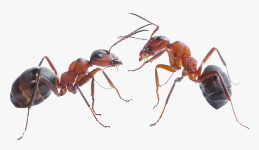 Download Ant Png Pic For Designing Use - Png Ant, Transparent Png, Free Download