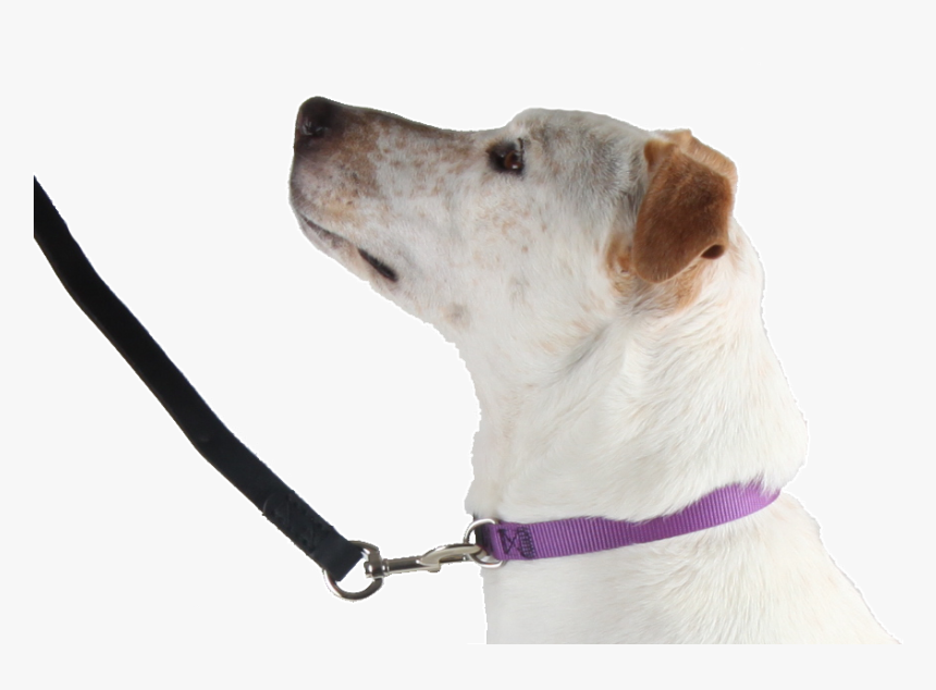 Flat Collar - Companion Dog, HD Png Download, Free Download