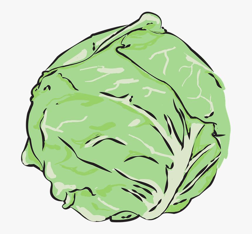 cabbage, vegetables, clean - head of lettuce vector, hd png download -  kindpng  kindpng