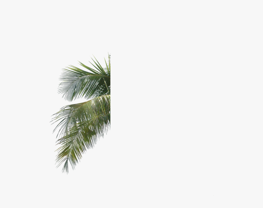 Palm Tree Leaves Psd - Palm Tree Leaves .psd, HD Png Download, Free Download