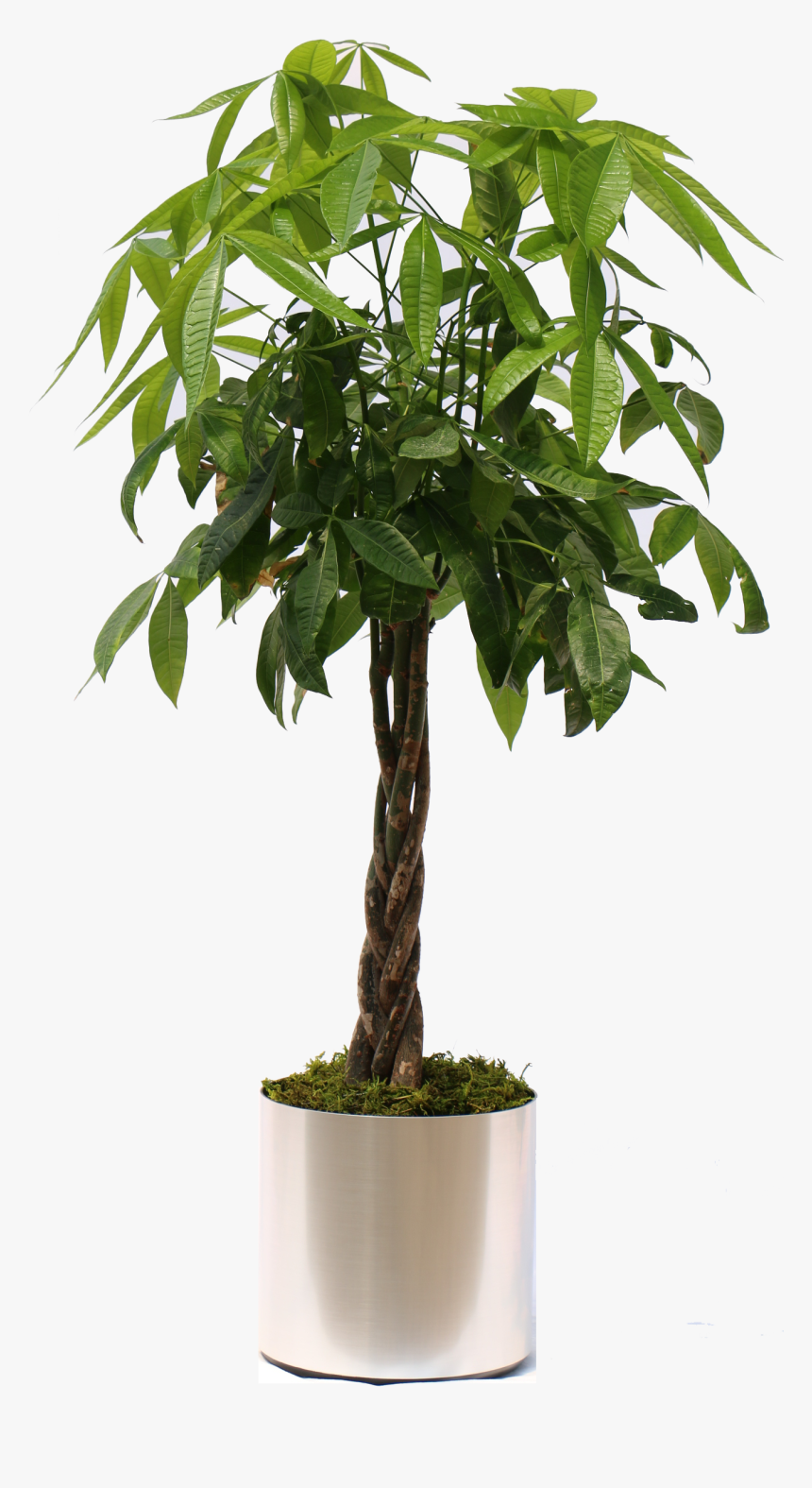 Potted Tropical Plants Png Clip Art Free , Png Download - Money Tree Plant Png, Transparent Png, Free Download