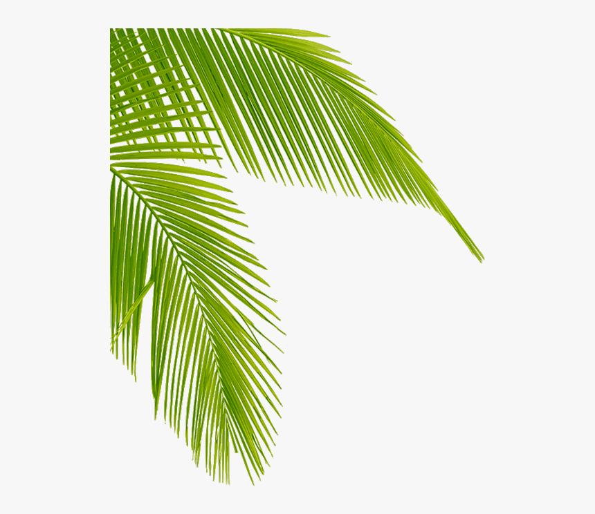 Coconut Tree Leaves Png - Transparent Palm Tree Leaves, Png Download, Free Download