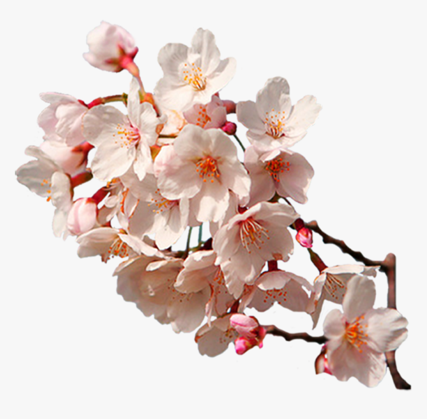 Sakura Png Transparent Image - Cherry Blossom Branch Hd, Png Download, Free Download