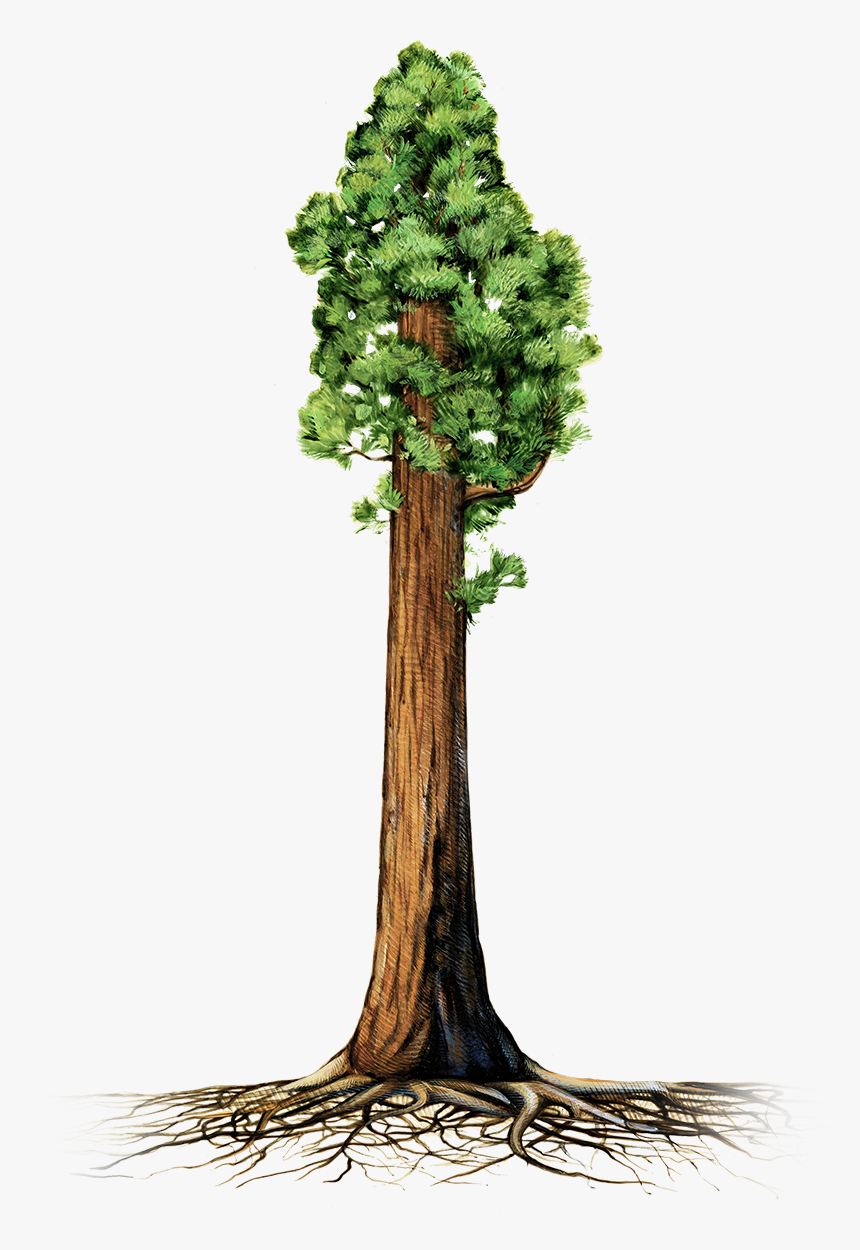 Trunk Sequoia National Park Coast Redwood Giant Sequoia - Sequoia Tree Clip Art, HD Png Download, Free Download