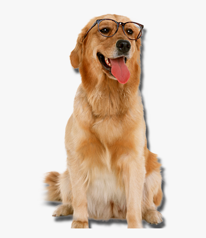 Golden Retriever With Glasses Dogs Png Golden Retriever Transparent Png Png Download Kindpng