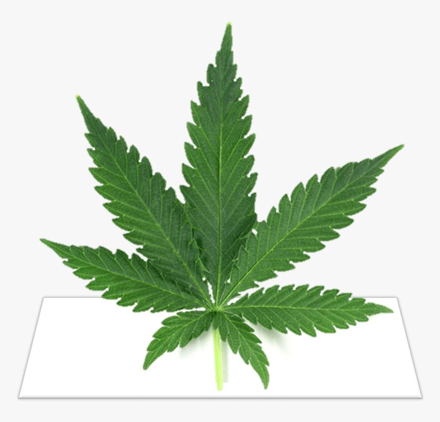 Transparent Weed Cigar Png - Marijuana Leaf, Png Download, Free Download