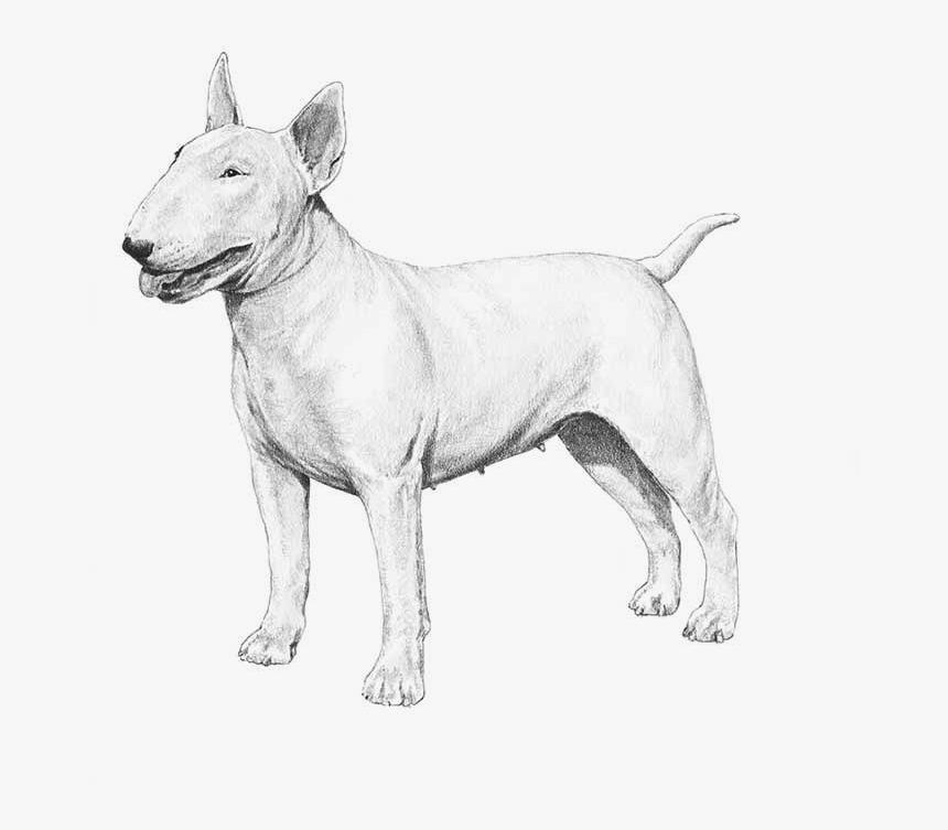 American Pit Bull Terrier - Bull Terrier, HD Png Download, Free Download
