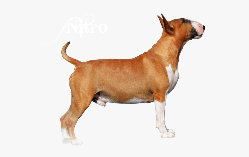 Bull Terrier (miniature), HD Png Download, Free Download