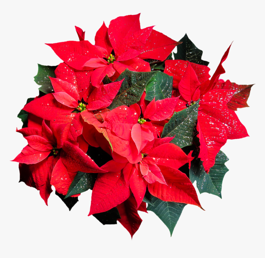 Flower, Poinsettia, Plant, Blossom, Bloom, Christmas - Flower Top View Png, Transparent Png, Free Download