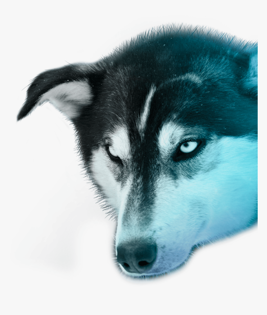 Transparent Husky Png, Png Download, Free Download