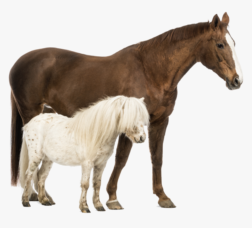 Shetland Pony Belgian Horse Welsh Pony And Cob Stock - Horse And Pony Together, HD Png Download, Free Download