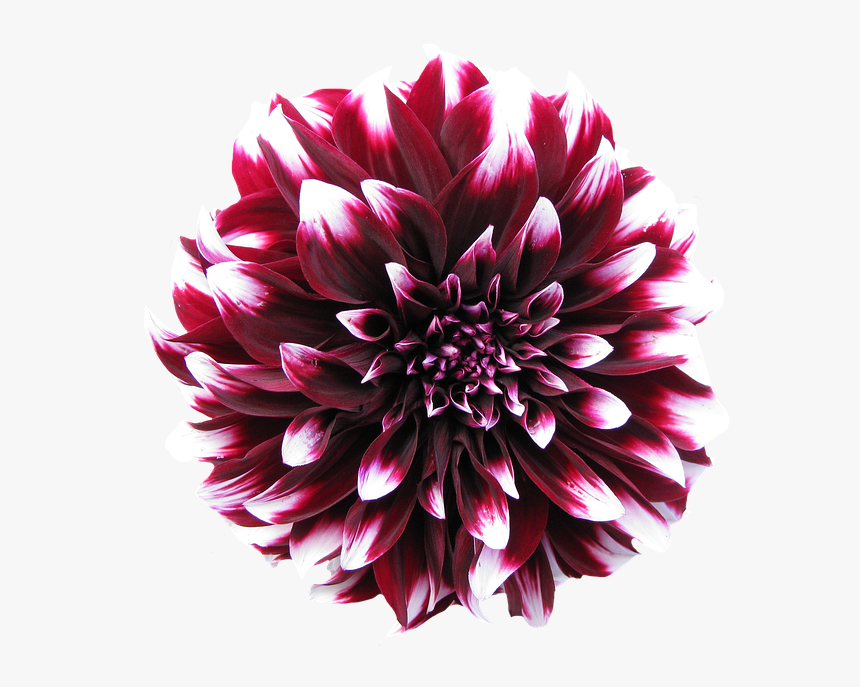 Dahlia, Late Summer, Dahlia Garden, Blossom, Bloom - Purple And White Dahlia Flowers, HD Png Download, Free Download