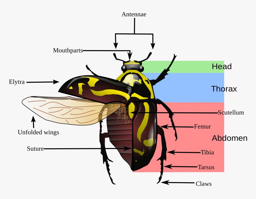 Variegated Mud Loving Beetle Diagram, HD Png Download, Free Download