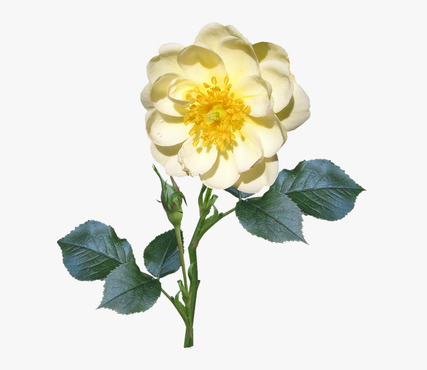 Rose, Stem, Single, White, Flower - Single Flower And Stem, HD Png Download, Free Download