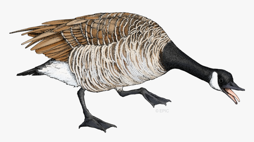 Goose Png, Transparent Png, Free Download
