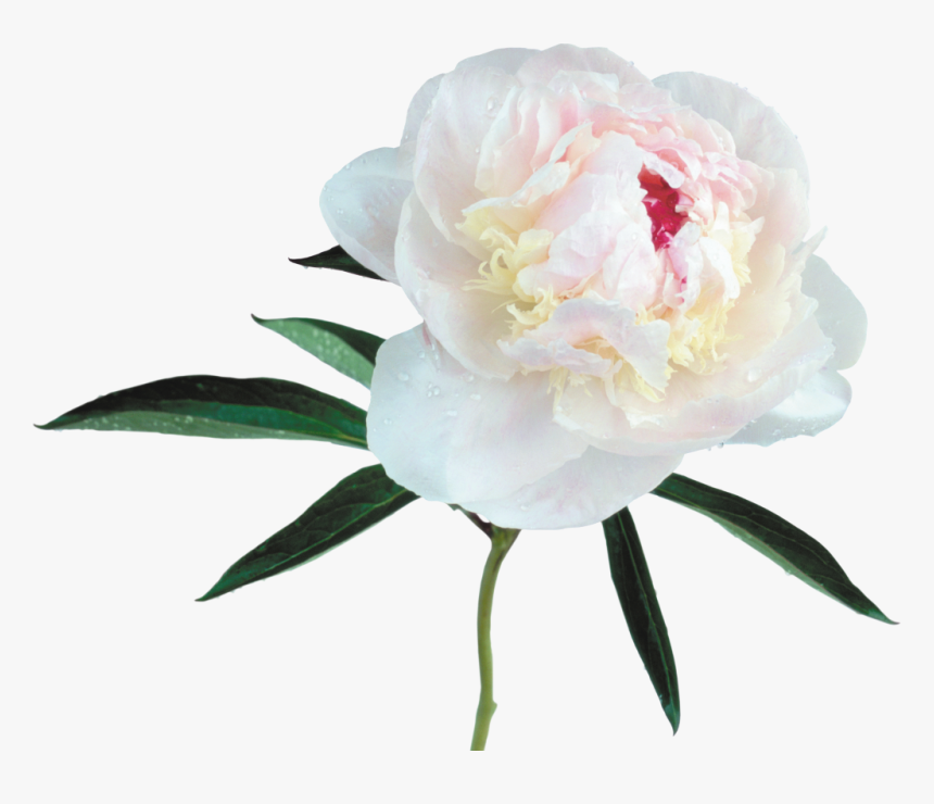 White Peony White Background, HD Png Download, Free Download
