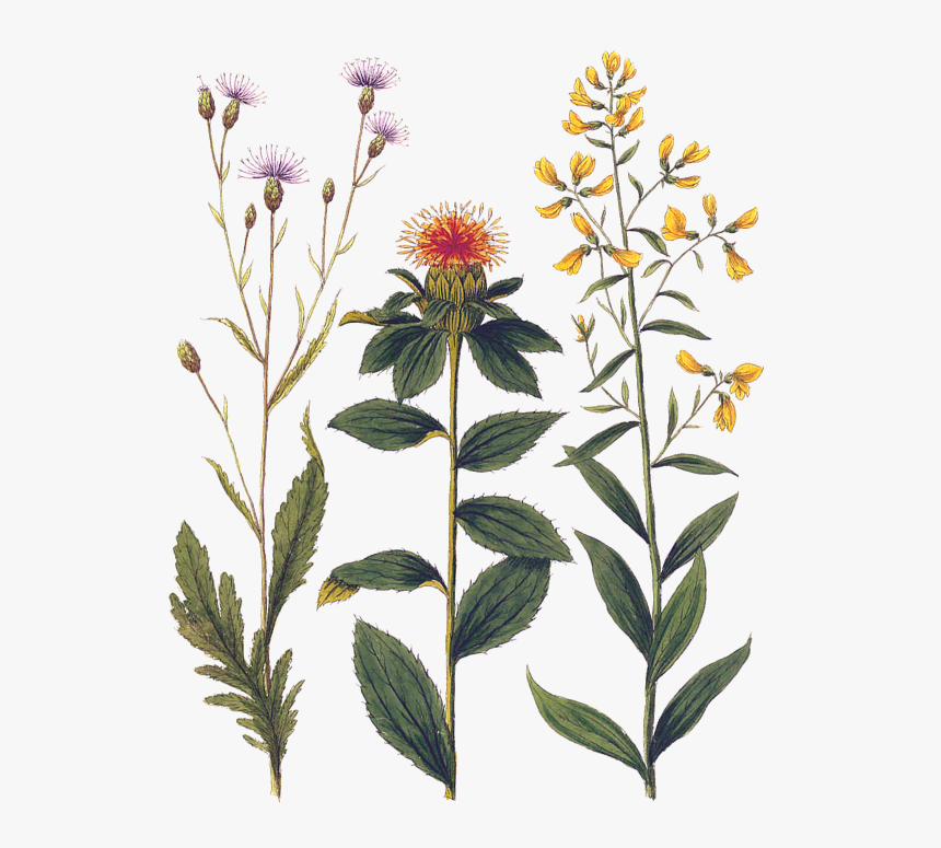 Botanical Print Small Flowers, HD Png Download, Free Download