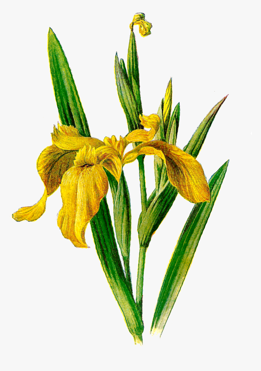 Antique Images Printable Flower Clip Art Wildflower - Yellow Flag Iris Clipart, HD Png Download, Free Download