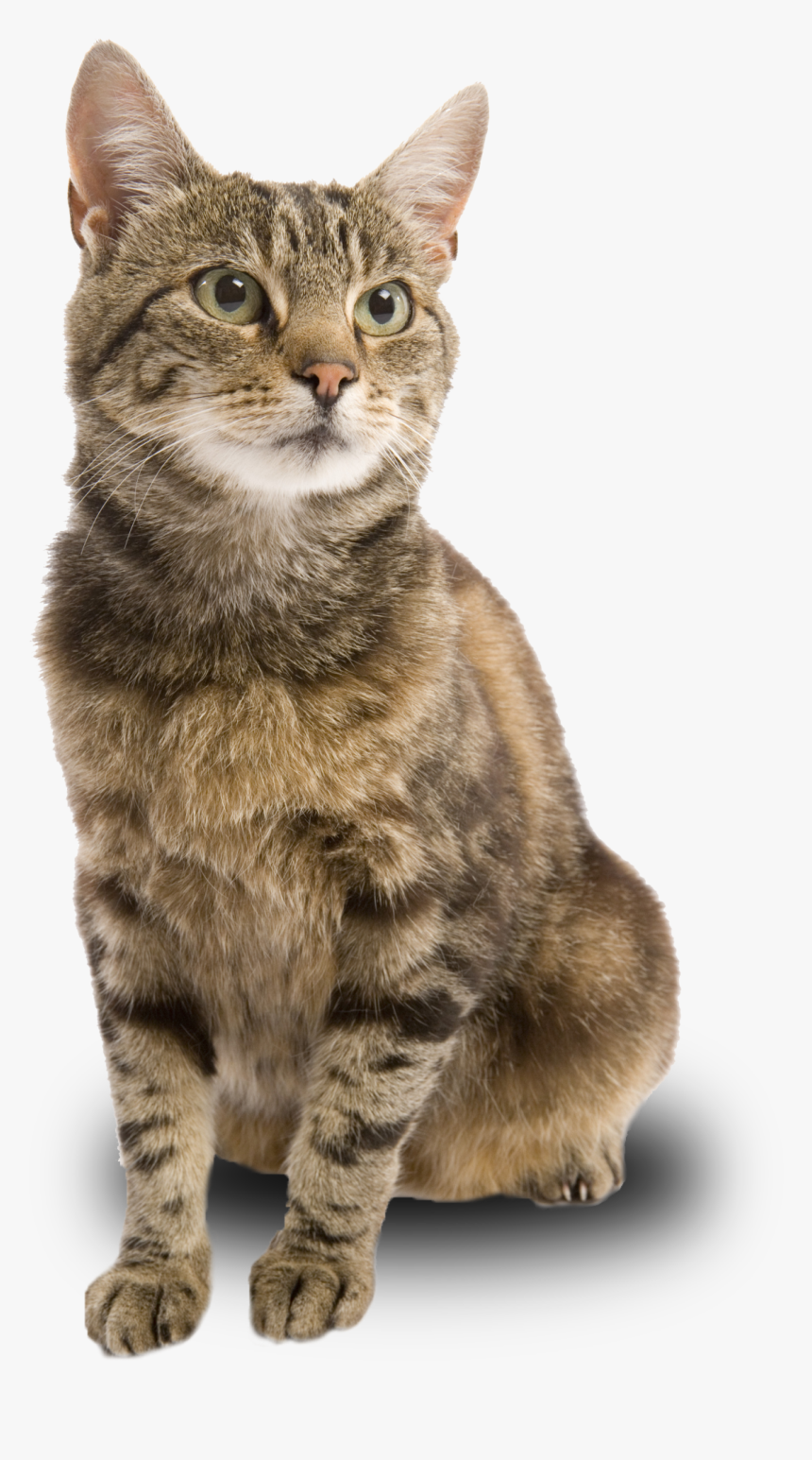 Female Brown Tabby Cat Hd Png Download Kindpng