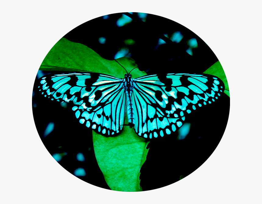 Butter - Tree Nymph Butterfly, HD Png Download, Free Download