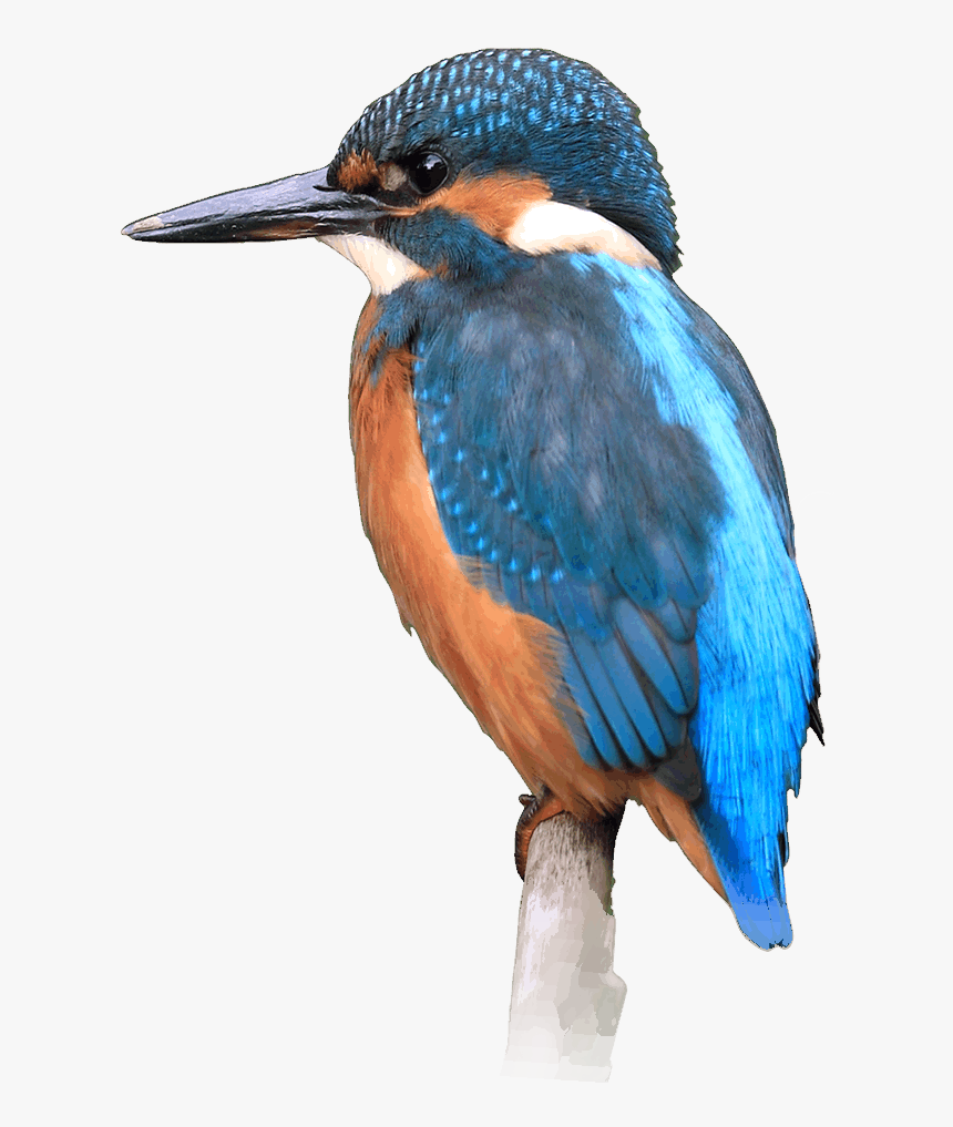 Kingfisher Hd Png , Png Download - Coraciiformes, Transparent Png, Free Download