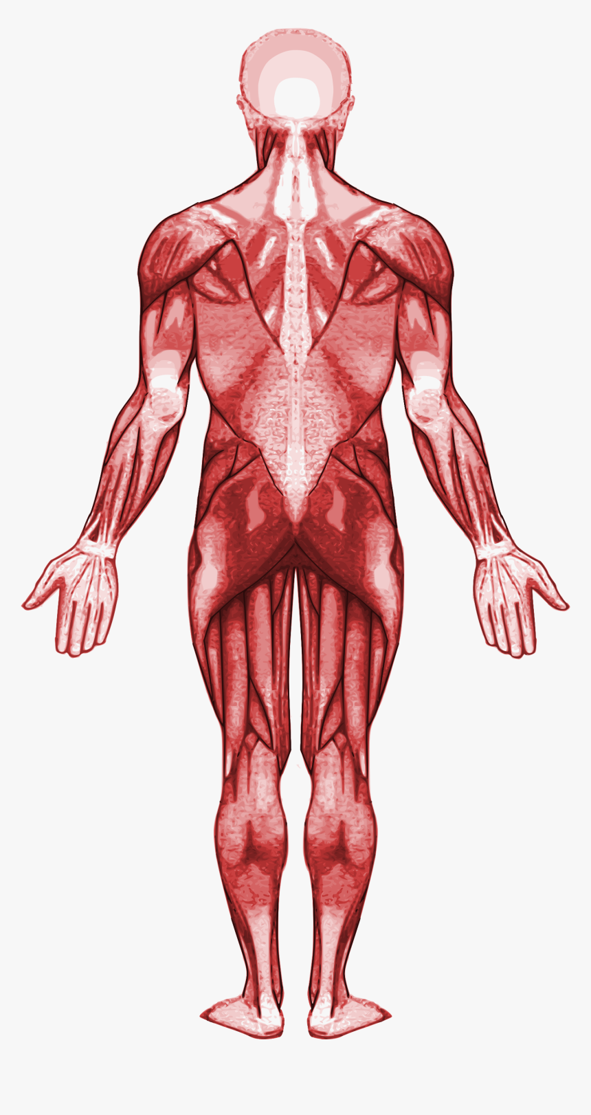 Muscle Clipart Muscular System - Gastrocnemius Muscle, HD Png Download, Free Download