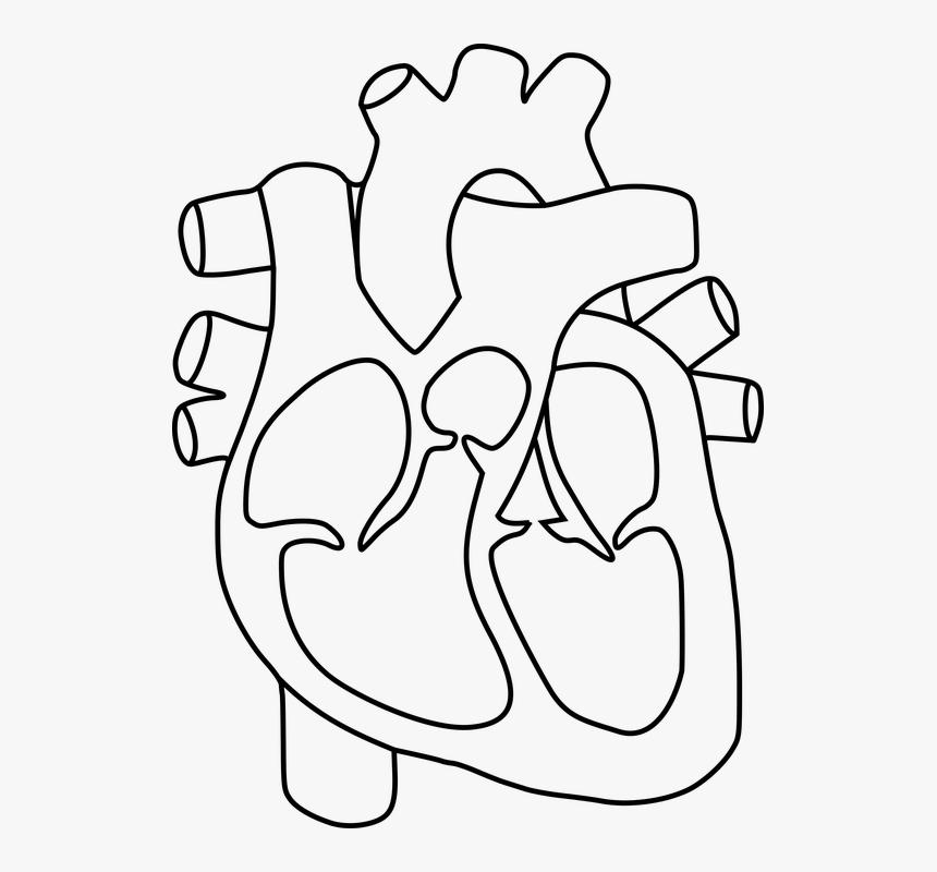 Anatomy, Health, Heart, Human, Science - Human Heart ...