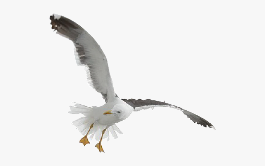 Seagull Fly Gull Free Picture - Flying Seagull Transparent Background, HD Png Download, Free Download
