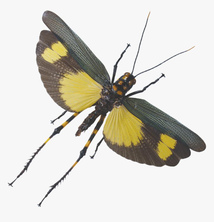 Grasshopper Flying - Flying Grasshopper Transparent, HD Png Download, Free Download
