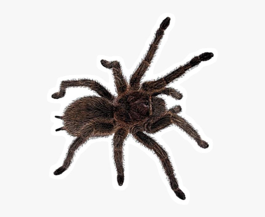 Freetoedit Insect Tarantula Spider Böcek Örümcek - Тарантул Пнг, HD Png Download, Free Download
