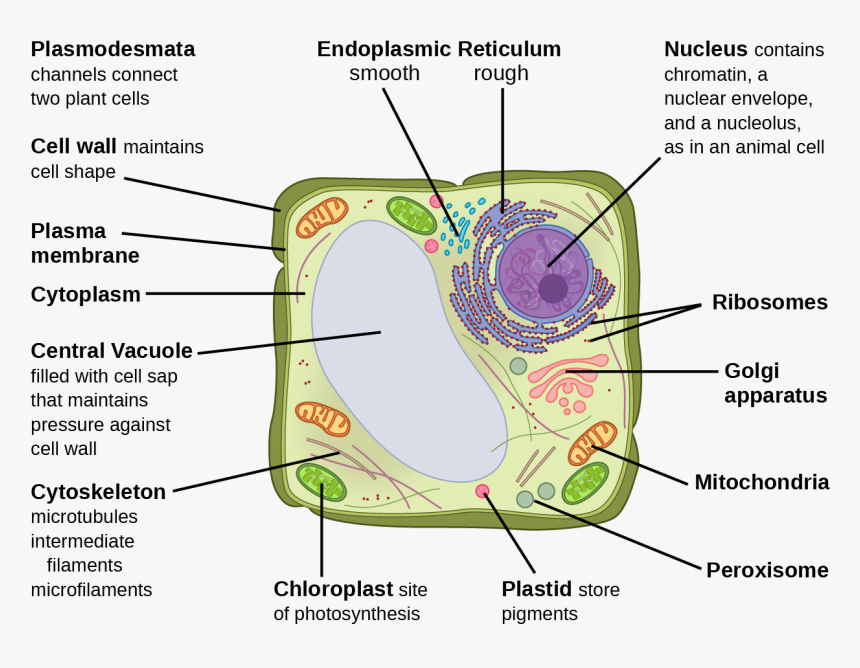 This Illustration Depicts A Typical Eukaryotic Plant - Eukaryotic Plant Cell, HD Png Download, Free Download
