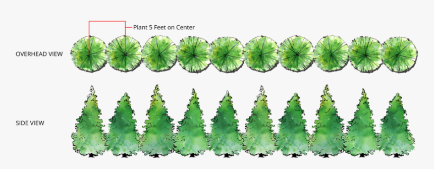 Thuja Green Giant Single Row Spacing - Planting Green Giant Arborvitae Spacing, HD Png Download, Free Download
