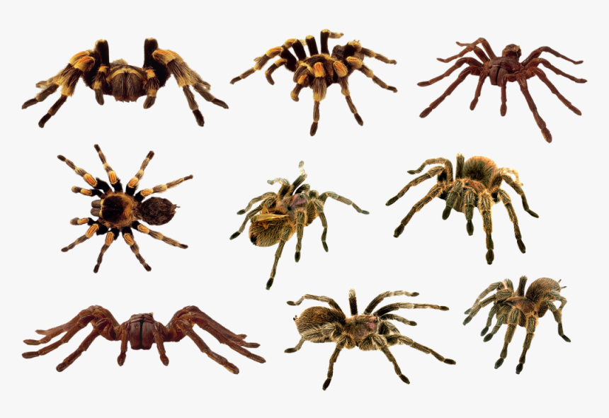 Download Spider Png Clipart 364 - Spiders Png, Transparent Png, Free Download