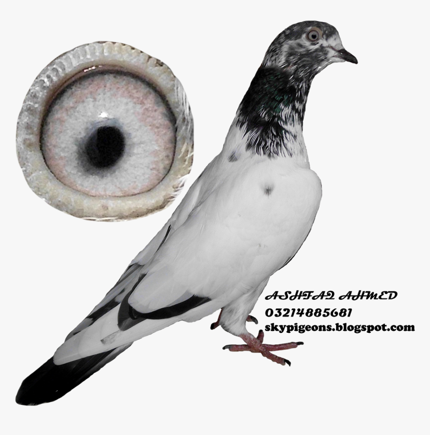 Rock Dove, HD Png Download, Free Download
