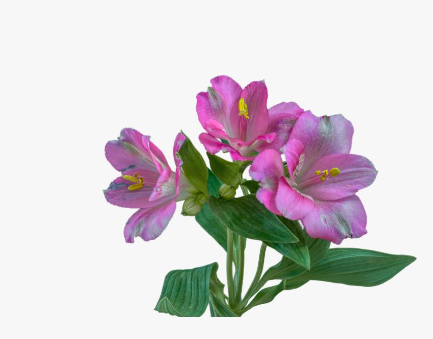 Purple Alstroemeria Png, Transparent Png, Free Download