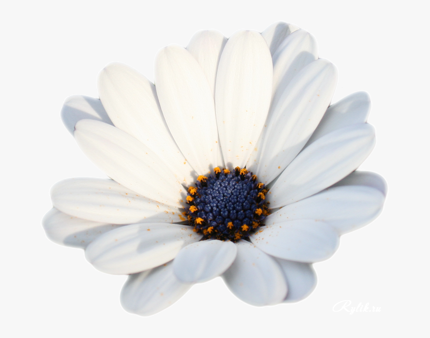 Camomile Png Hd Photo - New Year, Transparent Png, Free Download