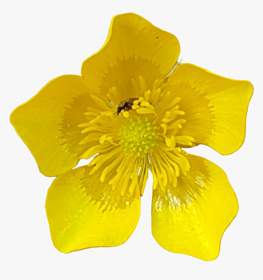 Buttercup Flower With Insects Transparent Image - Transparent Flower No Background, HD Png Download, Free Download