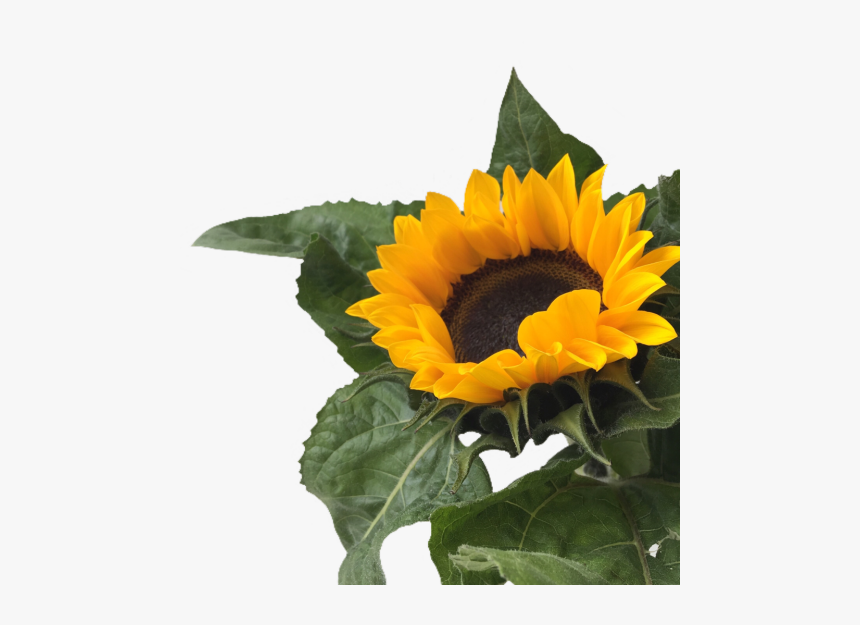 sunflower clipart aesthetic yellow aesthetic png flowers transparent png kindpng yellow aesthetic png flowers