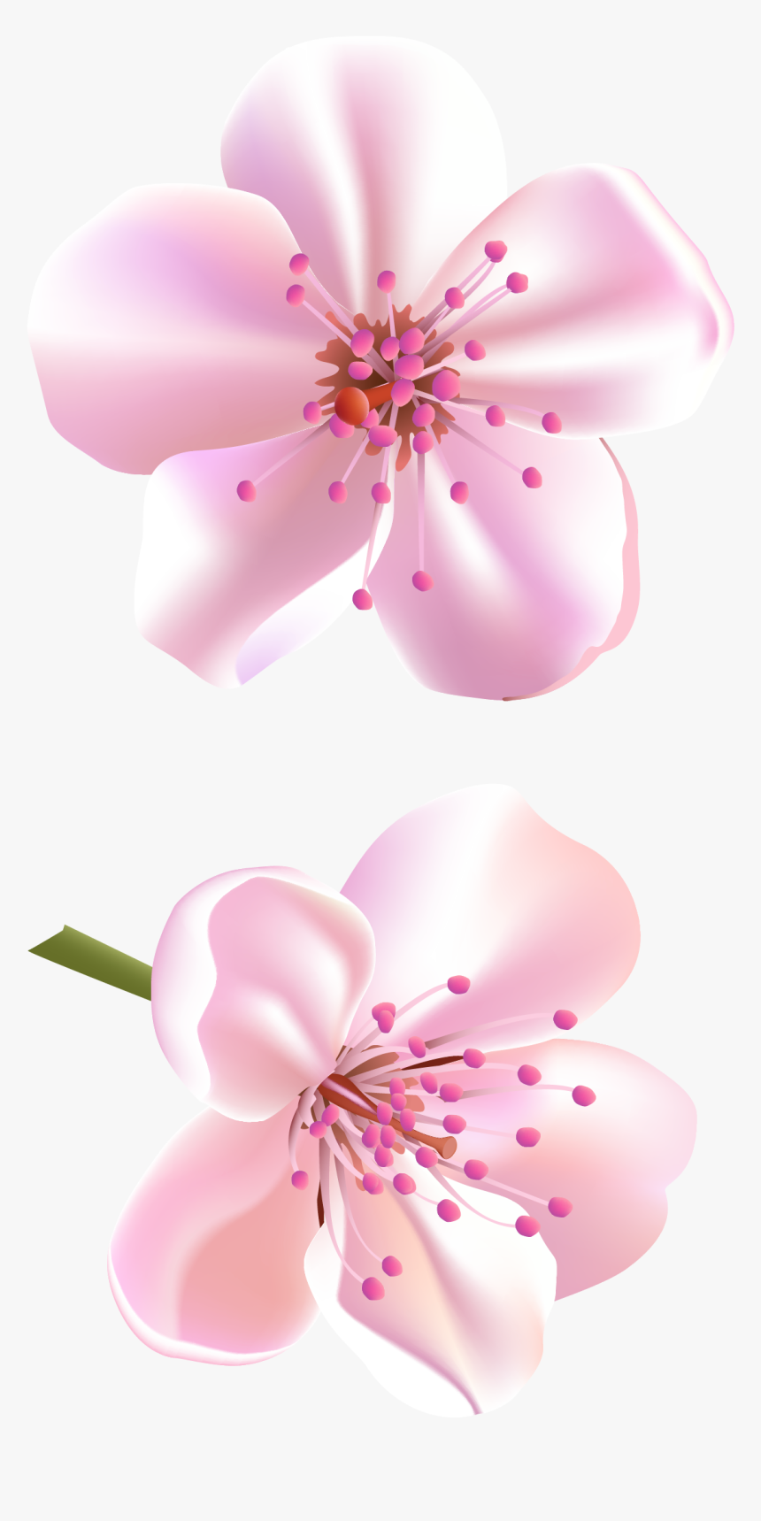 Flower Cherry Blossom Clipart, HD Png Download, Free Download