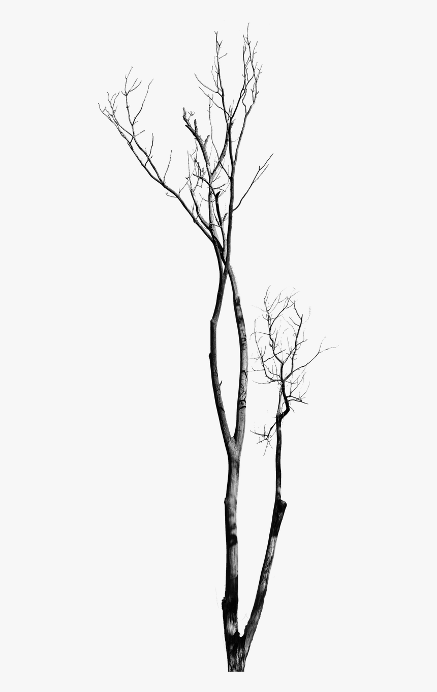Dead Tree With No Leaves Tree With No Background Bare