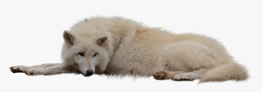 Laying Sleeping Wolf White Cut Out Png - White Wolf Png Transparent, Png Download, Free Download