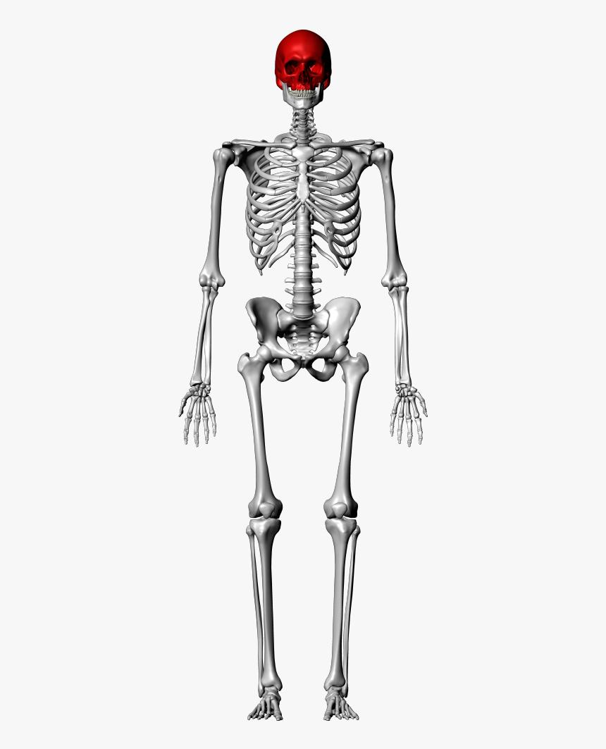Femur Skeleton, HD Png Download, Free Download