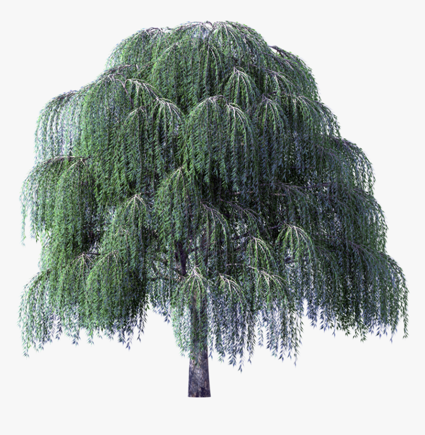 Willow Png - Weeping Willow Tree Transparent Background, Png Download, Free Download