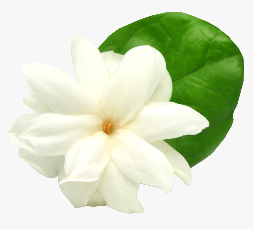 Gardenia Flowers Png Free Image Download - Jasmine Flower Transparent Png, Png Download, Free Download