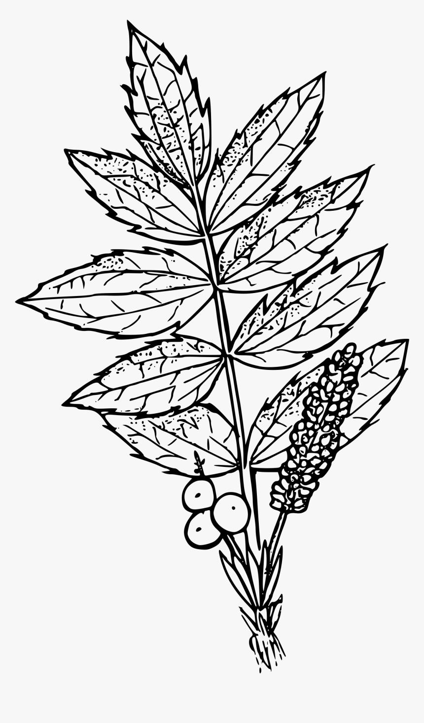 Cascades Oregon Grape Icons - Oregon Grape Flower Drawing, HD Png Download, Free Download